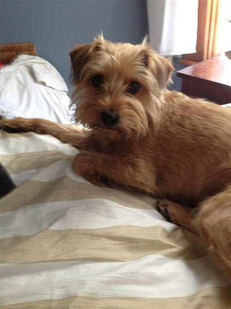 wire haired terrier yorkie mix pin by montz on cho cho san