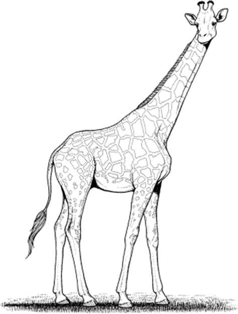 imagenes de jirafas para recortar jirafa para colorear