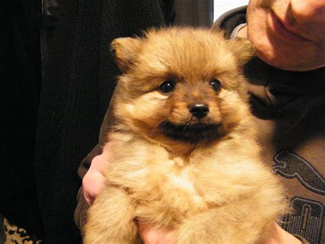 wolf pomeranian for sale wolf pomeranian for sale breeds picture