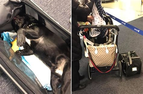 puppy on plane united airlines flight attendant forces in overhead compartment dies ear