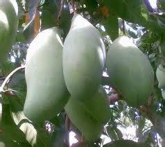 Promo 2 Bibit Miracle Fruits Si Buah Ajaib mangga mahathir si jumbo nyaris tanpa serat bibit buah buahan dan kayu unggul purworejo