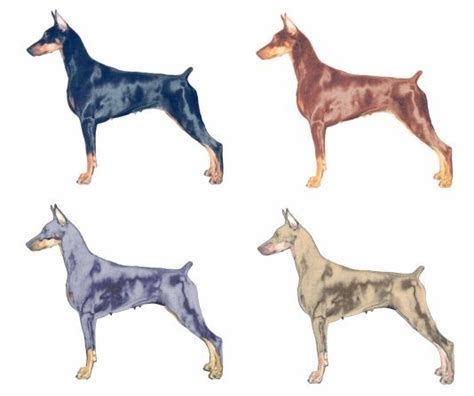 doberman colors my pack