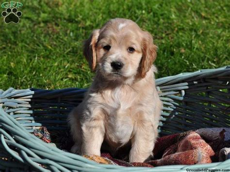 golden cocker retriever for sale in pa 124 best images about puppies on morkie