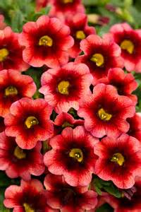 superbells 174 coralberry punch calibrachoa hybrid proven