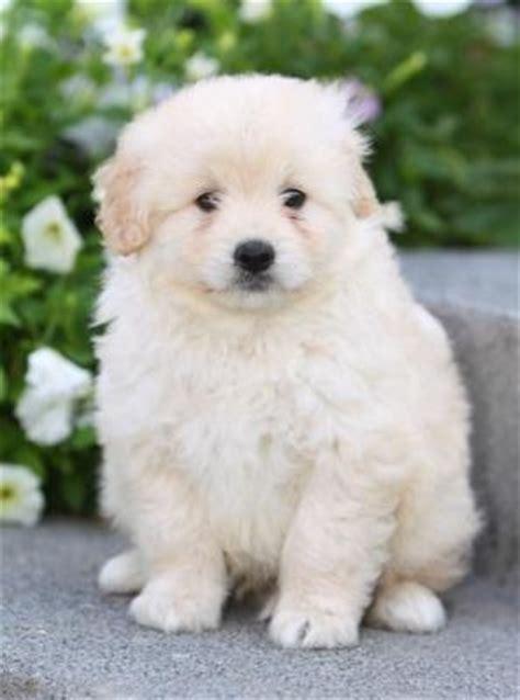 eskipoo puppies eskipoo american eskimo poodle mix info temperament puppies pictures