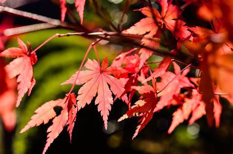 wallpaper bunga gugur gambar pemandangan alam cabang menanam bunga merah