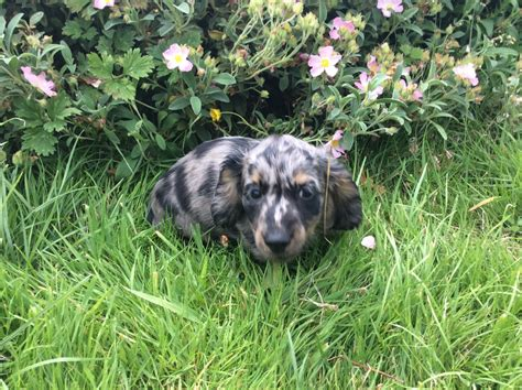 miniature dachshund puppies for sale miniature dachshund puppies for sale tiverton pets4homes