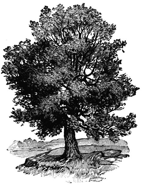 oak tree drawing oak tree clipart etc