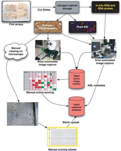 microarray workflow figure 2 the stanford tissue microarray database open i
