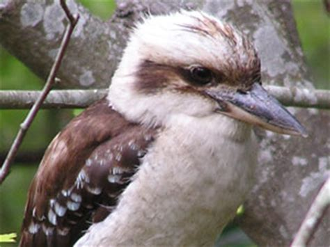 australian native birds about birds
