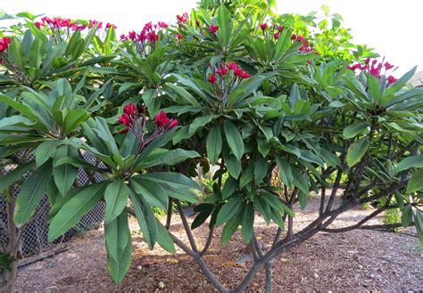 frangipani fiore plumeria frangipani linguaggio dei fiori il giardino