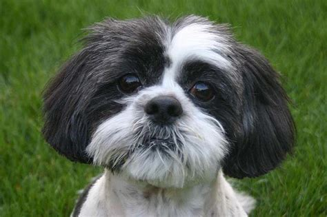 emperor shih tzu 10 amazing things about shih tzu dogs shih tzu facts
