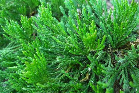 Zones For Gardening Map - juniperus horizontalis