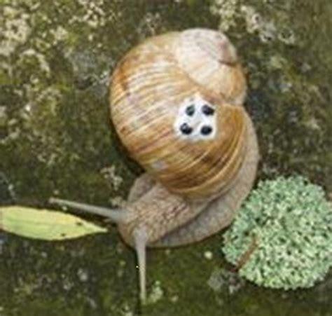 weinbergschnecken im garten bild 1 aus beitrag der schneckenk 246 nig