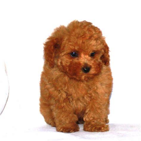 photos of lakeland terriors hair styles pictures of lakeland terrier hair cuts