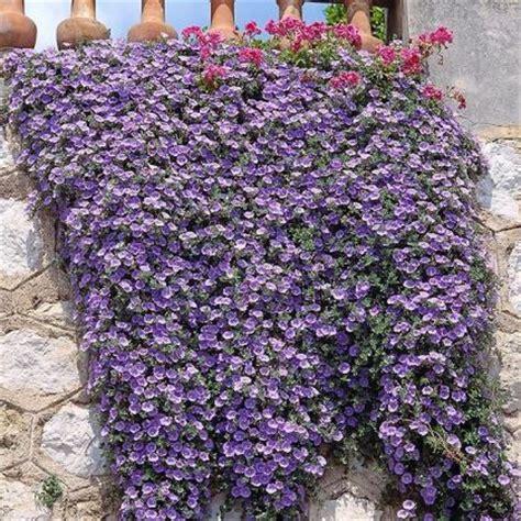 piante cascanti da interno piante cascanti sempreverdi idee per il design della casa