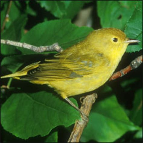 yellow warbler (dendroica petechia) mississippi national