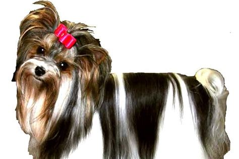 yorkie behavior traits yorkie terrier personality traits dogs our friends photo