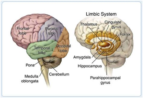 3d brain diagram learnet living education and resources network by the
