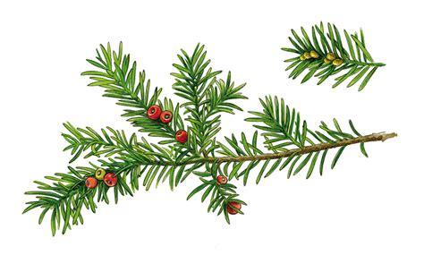 Eibenholz Giftig by Eibe Taxus Baccata Erlebnispfad Binger Wald