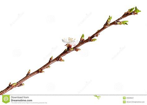 twig l single flower on fruit tree twig stock image image 20226527