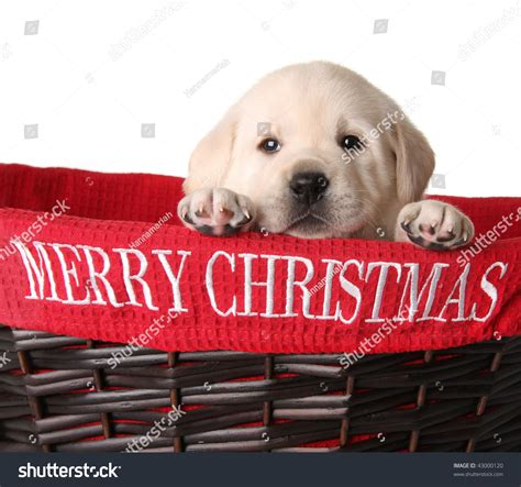 yellow lab puppy   merry christmas basket stock photo  shutterstock