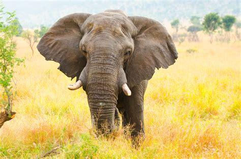 why do elephants have big ears wonderopolis