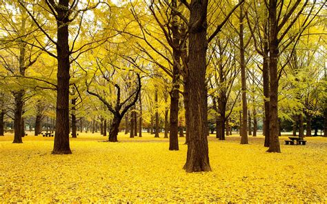 wallpaper trees gold ginkgo trees wallpaper high definition high quality