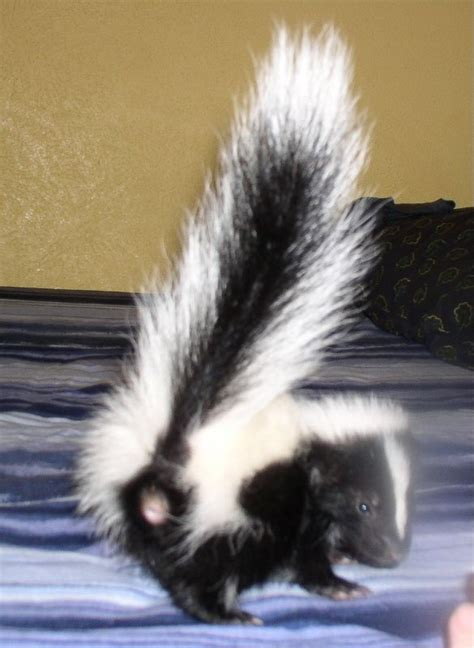 cute baby pet skunk 6 weeks old animals pinterest