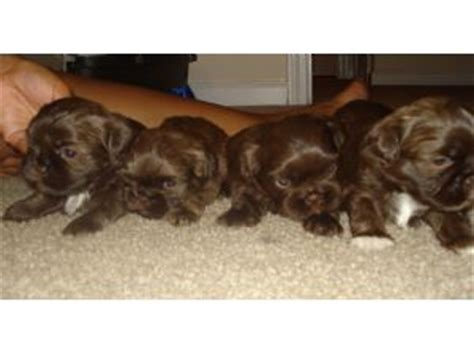 chocolate shih tzu for sale in pa shih tzu puppies for sale