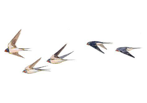 dibujos de golondrinas para graduacion golondrina com 250 n seo birdlife