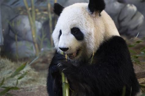 animal planet panda cam giant panda facts animal