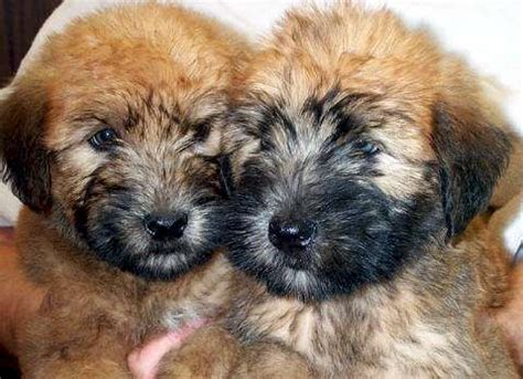 wheaten puppies for sale 78 images about wheaten terriers ireland on terrier puppies to find out