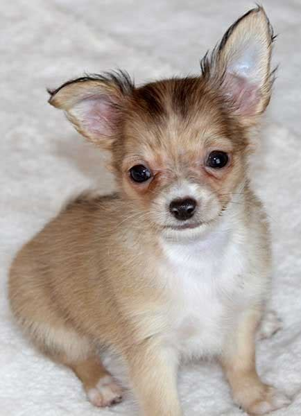 chihuahua puppies florida chihuahua puppy for sale in boca raton south florida