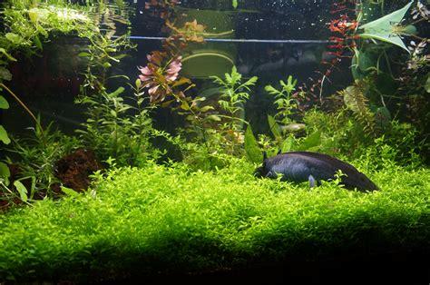 Soft Aquarium axolotl in planted aquarium lots of soft plants is great