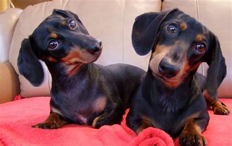 sausage dogs adorable sausage dogs dogs compilation 2016