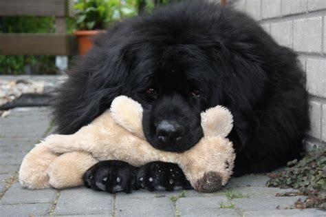 pyrador puppies pyrador dogs breeds picture