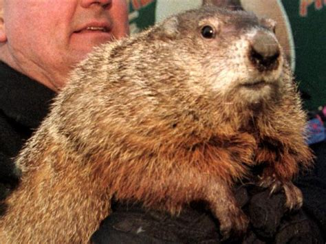 groundhog day how many days did it last groundhog day reveals six more weeks of winter 183 guardian