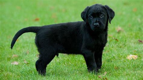 black golden retriever puppy black lab golden retriever mix puppies for sale goldenacresdogs