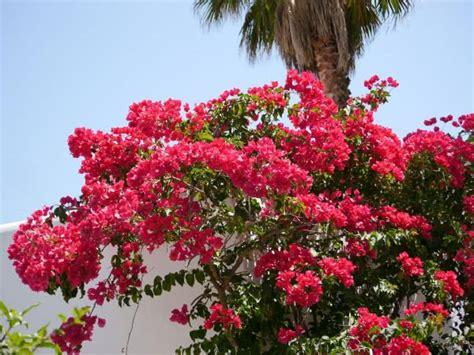 stassen fiori pflanzen auf mallorca so genie 223 en sie die bl 252 hende insel