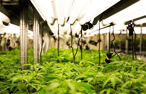 marijuana grow room pesticide use in colorado cannabis gardens cannabis digest