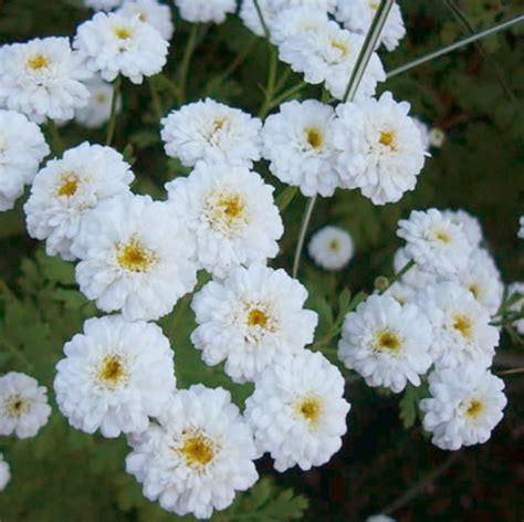 benih feverfew tetra white 20 biji non retail