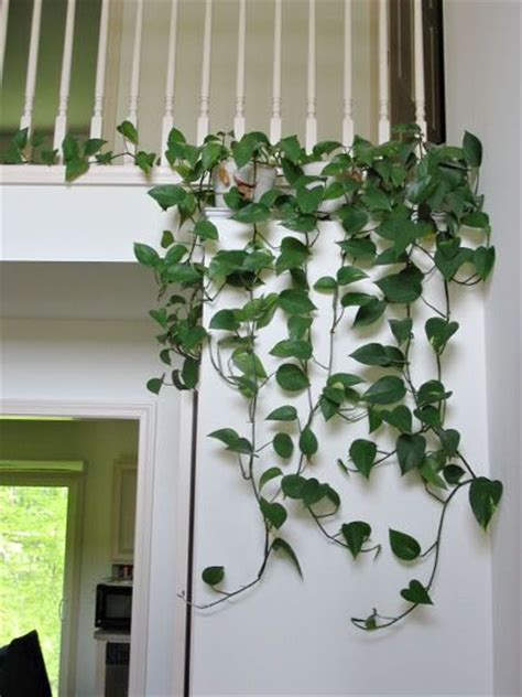 how to arrange indoor plants best 25 golden pothos ideas on pinterest monstera