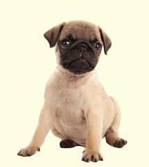 pugs for sale in md best 25 pugs for sale ideas on baby pugs for sale pug puppies for sale