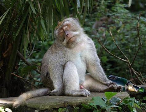 gambar lucu monyet teler  samping botol juragan cipir
