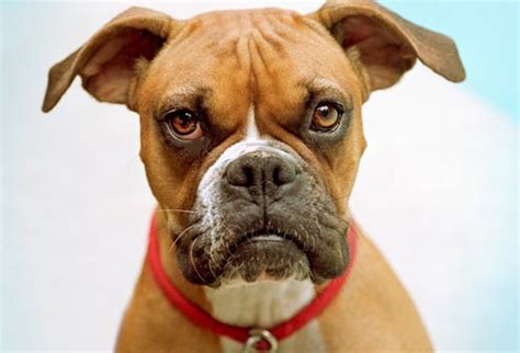 types of boxer dogs common health problems for popular breeds in pictures