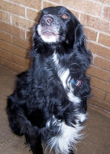 staffy cross golden retriever 7 year collie cross golden retriever for adoption