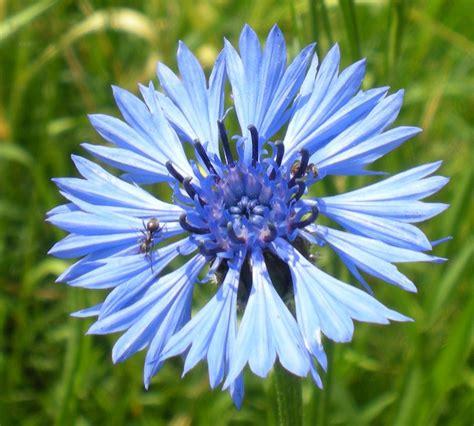 fiordaliso fiore foto photos du bleuet centaurea cyanus jardinage