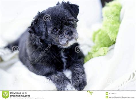 gray pug pug shihtzu mixed breed on white blanket royalty free stock photo image 37726375
