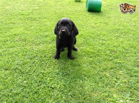 golden retriever puppies for sale cornwall golden retriever labrador retriever puppies torpoint cornwall pets4homes
